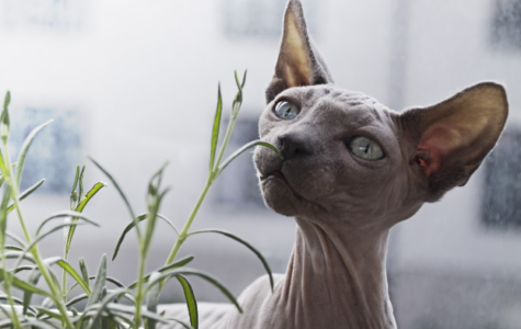 8 Reasons Why Sphinx Cats Are Great Pets