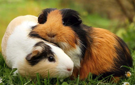 Basic Guinea Pig Care Guide